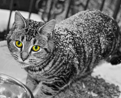 Snow Kitten (Skyelyte) Tags: cat tiger wild animal selectivecoloring outdoors snow water canon7d winter march newengland connecticut fur monochrome weather cold stripes tigercat sweet pretty gold green eyes bigeyes