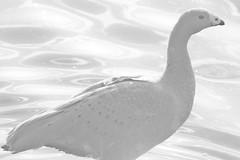 Cape Barren Goose - High Key (DaveFlker) Tags: bird highkey canadagoose