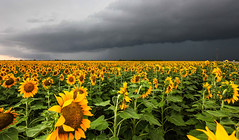 Storm Chasing May 2014 (minds-eye) Tags: storm texas sunflowers tornado