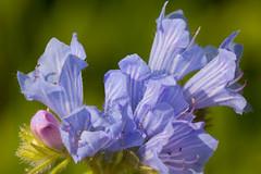 Bloemen. macro. (George Ino) Tags: blue copyright macro flora utrecht blauw ngc nederland thenetherlands npc plantae makro paars georgeino georgeinohotmailcom