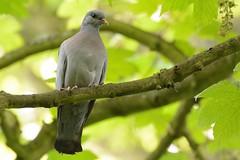 Stocky. (stonefaction) Tags: wood nature birds scotland fife dove wildlife stock crail faved denburn
