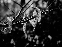 tropfen & zweige. (Karo Krmer) Tags: blackandwhite stilllife tree analog forest ast stilleben canonae1 leafs wald bltter baum zweige westerwald schwarzweis