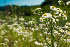 fiori di campo (XXAquarius) Tags: campagna di campo fiori giugno margherite passeggiate