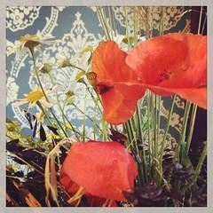 Mohnblume. Poppy.  #poppy #flower #sun #mohnblume #spring