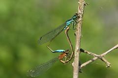 Blue-tailed Damselflies Mating (former-extog) Tags: wheel mating wfc bridgend bluetaileddamselfly ischnuraelegans tondu penybontarogwr welshflickrcymru bbcwalesnature parcslip bymikemccarthy canonef100mmf28lmacroisusm ©mikemccarthy