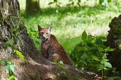Little Lynx (The Wasp Factory) Tags: tierpark lynx sababurg luchs eurasianlynx eurasischerluchs tierparksababurg