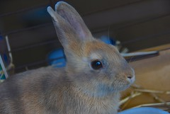 The reflections in those beautiful eyes! (ineedathis, Everyday I get up, it's a great day!) Tags: rabbit bunny animal mammal furry cuddly domesticated hff lagomorpha κουνέλι nikond80 λαγουδάκι