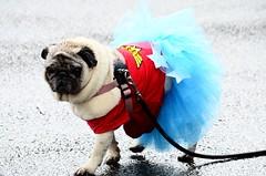 Wonder Woman - Pug (Krystal.Foster) Tags: cute oregon portland costume pug wonderwoman pdx 2014 pugcrawl