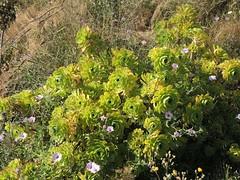 Aeonium arboreum in Son Serra de Marina, Mallorca, NGIDn963287920 (naturgucker.de) Tags: aeoniumarboreum naturguckerde cwolfgangkatz 1038097865 409271081 652790229 ngidn963287920