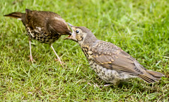 2011-05-20-12-52-44-0003.jpg (martinbrampton) Tags: england bird unitedkingdom wildlife thrush brampton may2011 townfootpark