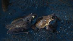 Frog (s) (Mark Winterbourne | markwinterbourne.com) Tags: england photography bradford unitedkingdom leeds westyorkshire bretton yeadon markwinterbourne