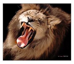 Lehoiaren orroa (Jabi Artaraz) Tags: athletic bilbao zb león athleticdebilbao euskoflickr lehoia superaplus aplusphoto rugido jartaraz orroa