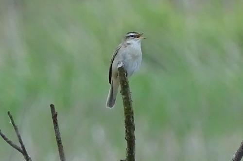 Sedge Warbler (Acrocephalus schoenobaenus) Schilfrohrsänger