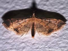 Grass Moth - Family Crambidae - NMW 22 July 2014-230 (Dis da fi we) Tags: belize crambidae grassmoth jungle puntagorda toledo wildlife nationalmothweek nationalmoth mothing cottages hickatee