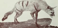 Anglų lietuvių žodynas. Žodis little spotted skunk reiškia mažai pastebėtas skunk lietuviškai.