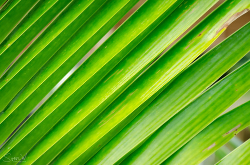 Palmblad in Thailand