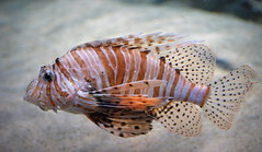 A Sad Lionfish (pringle-guy) Tags: fish london animals nikon lionfish londonaquarium חיות דג אקווריום לונדון דגים בעליחיים