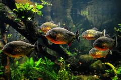 Piranhas (pringle-guy) Tags: fish london animals nikon sealife piranha londonaquarium