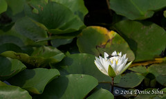 _XT10355-Edit (neech_2000) Tags: pink green leaves drops dragonflies insects waterlilies buds drips lotusblossoms