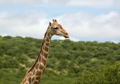 Dolomite Welcome (zenseas) Tags: africa wild driving giraffe welcome namibia etosha dolomite giraffacamelopardalis selfdrive etoshanationalpark selfdrivesafari dolomitecamp