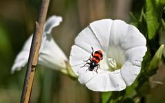 Clairon des abeilles (Trichodes apiarius )  IMG_5194 (6franc6) Tags: 30 rouge noir poison languedoc petite abeille gard insecte camargue tueur 2014 rserve scamandre 6franc6 coleoptere neonicotinoide tueurdabeille