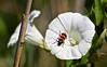 Clairon des abeilles (Trichodes apiarius )  IMG_5194 (6franc6) Tags: 30 rouge noir poison languedoc petite abeille gard insecte camargue tueur 2014 pesticide réserve scamandre 6franc6 coléoptère néonicotinoïde tueurdabeille