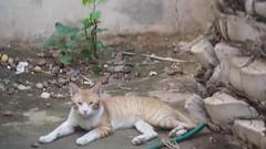#braon # # #  # #  #Takenbyme #ksa #cat #Coloredeyes #Saudiinstagram  #Colored #eyes #Colored_eyes#Coloredeyes #beatiful #bestsnaps #shotaward #sony_official #arab_photographers #photos #igs_photos  #phototag_it #500px #photo # (photography AbdullahAlSaeed) Tags: blue green animal animals cat photo video eyes photos colored videos        500px