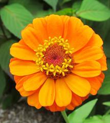Orange Zinnia (SA_Steve) Tags: orange flower green nature floral yellow natural zinnia coth supershot coth5 sunrays5