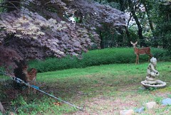 A couple of extra garden statues (jmlwinder) Tags: fauna md maryland deer fawns lawns colesville gardenstatuary