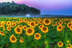 sunflower Morn-7 (DaveGarPhoto) Tags: flowers sunrise newjersey nj farmland sunflowers augusta sussexcounty adavidgardinerimage