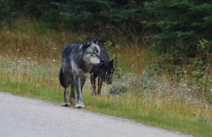 Canis lupus on the move - two wolves stalking elk herd - Banff National Park, Alberta, Canada (superpugger) Tags: bowvalleyparkway banffnationalpark banff alberta canada wolves wolf canislupus wildlife lawrencepugliares lpugliares