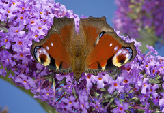 Peacock Down (dangerousdavecarper) Tags: uk butterfly insect buddleia wildlife peacock