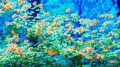 似曾在梦中飞 Flying in Dreams (幻影留梦) Tags: pink red orange white flower color macro yellow butterfly garden 50mm spring north hamilton dream m42 carolina azalea shrub 花 蝴蝶 春天 f17 梦 杜鹃花 幻 rokkorx 映山红
