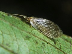 Brown Lacewing_2014.09.03 (1 of 2) (Urutu_From_SW_PA) Tags: