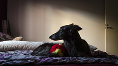 _DSC8062.jpg (markiisi) Tags: toy bed bedroom relaxing whippet elegant clone julius matti noble angrybirds silkenwindhound