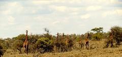 The Wandering Giraffes