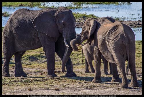 elephant tussles (Chobe)