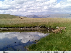 Doe and Fawns (wyo92) Tags: camera photos wildlife cam trail wyoming kodiak commanche outfitters