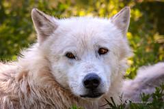 Black Hills 100-Edit.jpg (Ron '53) Tags: southdakota unitedstates wolves rapidcity bearcountryusa