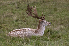 IMG_6524 (ajr1961) Tags: park canon deer fallow dyrham 650d
