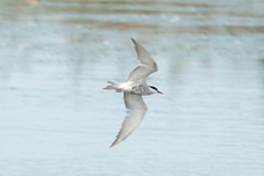 Whiskered Tern (surfbird917) Tags: park blue sea sky white dark point flying newjersey sam state 14 flight may nj 9 stuart belly cape aba common sept tern rare compared whiskered