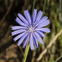 Little Wild Flower (rschnaible) Tags: california wild summer usa west flower green northerncalifornia botanical outdoors us colorful pretty purple hiking hike western sierranevada simple chicory