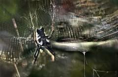 don't touch (pete ware) Tags: macro photoshop spider arachnid nikcolorefexpro samyang85mmf14 nikond7000 peteware kefalonianarachnid twoimagelayermaskcomp