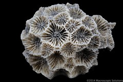 Colonial Rugose Coral