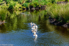 20150620-Line of Ducks-0001.jpg (Pat_J1) Tags: water ducks bog kildare bogofallen greystonescameraclub lullymorenaturecentre