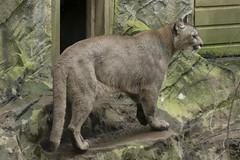 Puma (Gary J Morris) Tags: puma exmoor zoo zoology 11022017 gary morris canon 7d mkii canon7dmkii