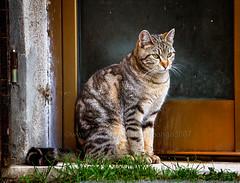 Waiting (pongo 2007) Tags: cat pongo2007 tigrotto