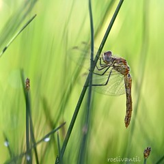Zwervende? Heidelibel/ Red-veined Darter female (Sympetrum fonscolombii) (roelivtil) Tags: heidelibelle redveineddarterfemale sympetrumfonscolombii 7dwfthemesundaysfauna