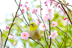 Japanese White-Eye and Plum Blossom : 梅にメジロ (Dakiny) Tags: 2017 winter february japan kanagawa yokohama aoba ichigao outdoor nature field plant tree flower blossom plum plumblossom apricot japaneseapricot bokeh creature animal bird whiteeye japanesewhiteeye nikon d7000 sigma apo 70200mm f28 ex hsm apo70200mmf28exhsm sigmaapo70200mmf28exhsm nikonclubit