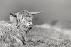 Hairy moment... (AnthonyCNeill) Tags: scottishhighland cattle schottischehochlandrinder cow horns blackandwhite blancaynegra blancetnoir schwartzundweiss closeup hairy longhair animal tier farm field shallowdepthoffield focalpoint focus monochrome face nikon d750 bokeh outdoor countryside campo nature naturaleza brilliant super
